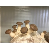 Mushroom Kit - King Oyster Difficulty medium only fruits in winter - FREE Shipping