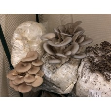 BULK GROWER PACK  1 TYPE OF Mushroom Kit  x 10 bag only Kits  - FREE Shipping to 90% of Australia - No Po Boxes