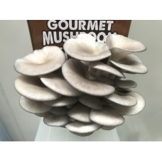 AUSTRALIA DAY SALE!!! Mushroom Kit  -  Blue/Pearl (Pleurotus Ostreatus)  - FREE Shipping