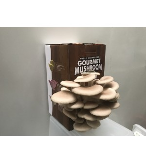 Mushroom Kit  -  Tan Oyster (Pleurotus Ostreatus) - Best Yielding and Easiest to grow - FREE Shipping