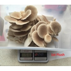 Mushroom Kit  -  tan Oyster 213 - Best Yielding and easiest to grow - FREE Shipping