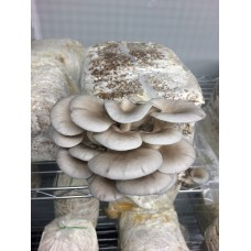 Mushroom Kit - Grey Oyster (Pleurotus Ostreatus) - Great looking and very tasty - FREE Shipping