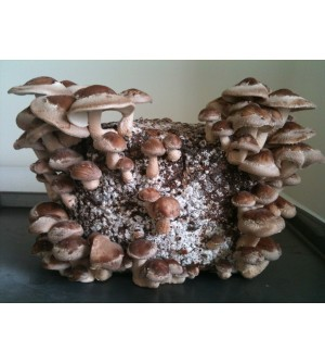 Mushroom Kit  Shiitake Grow BagAustralian Made!! - FREE Shipping