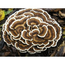 Mushroom Kit - Australian Turkey Tail (Trametes Versicolor) Great for making Teas or Extracts   - FREE SHIPPING